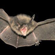 Morte de morcegos pela raiva põe em alerta rede de saúde em Botucatu (SP)