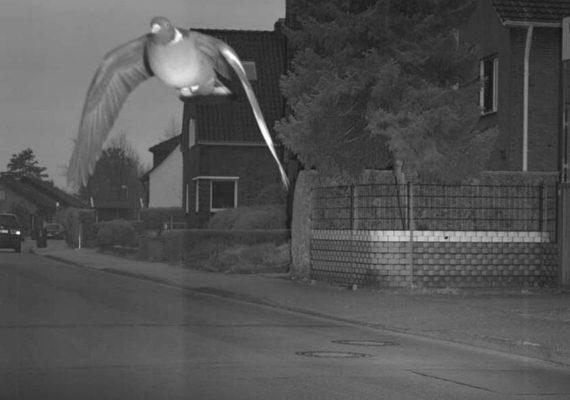 Pombo é flagrado por radar voando em rua acima da velocidade permitida
