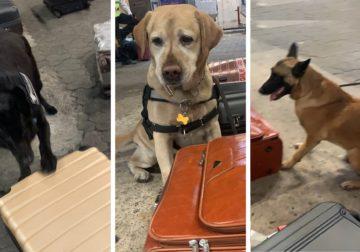Cães da Receita apreendem cocaína em Cumbica