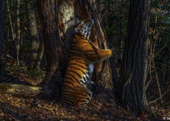 O fotógrafo do ano de 2020 é Sergey Gorshkov, da Rússia, que cativou o júri com a impressionante imagem de uma tigresa-siberiana abraçando o tronco de um pinheiro no extremo leste da Rússia. Os tigres-siberianos, também chamados de tigres-de-amur, são encontrados apenas nessa região do país. Gorshkov levou 11 meses para capturar esse momento com suas câmeras ocultas.
