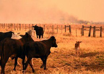 Animais perto da área incendiada (Corpo de Bombeiros do MS/Reprodução)
